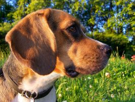Beagle portrait by Dybcio