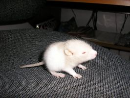 Baby rat by misanthropic9