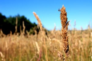 Spider on wheat by PhotographyisArt123