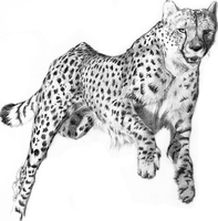 Cheetah (pencil work) by renadrawer