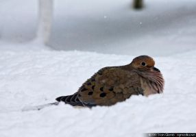 Mourning Dove by floggerSG