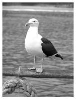 Sea gull by ccordovez