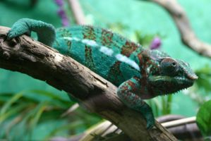 Parson's Chameleon by SmellsLikeDookie
