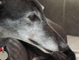 Greyhound 1 by ArtCat-UK