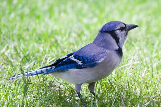 Blue Jay by LakeFX