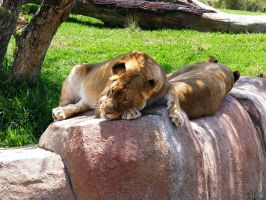 Lion Stock 2 by Arghel