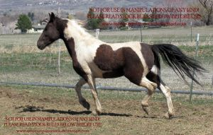 Dallas 08 by AstriexEquineStock