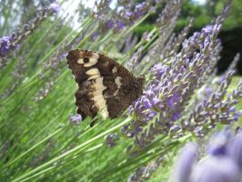 Lavender butterfly by Santian69