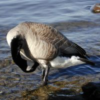 Canada Goose 01 by Ayelie-stock