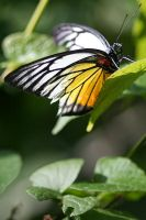 Butterfly Photo 9 by blookz