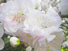 Cherry Blossoms II by TaSh-C