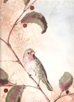 House Finch by Jiuhl