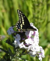black swallow tail by Nipntuck3