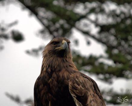 Golden Eagle - II by SJG-photography