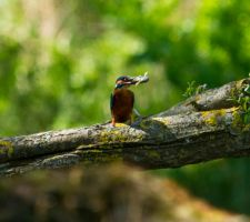 Day 132: The Kingfisher by Kaz-D