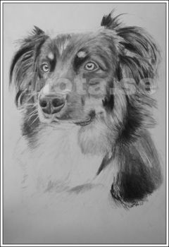 Commission - Tobe the aussie by kallerhult