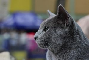 Russian Blue by panna-cotta
