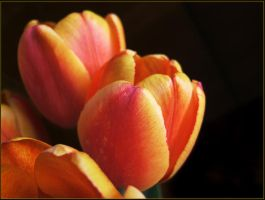 Tulips. Intense colour. by mirator
