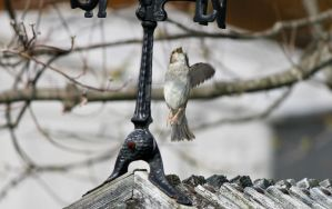 House Sparrow in Flight by Gneiss-chert