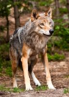 cautious Wolf by PictureByPali