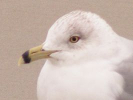 Seagull 1 by Pyritie