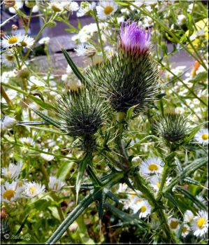 Spear Thistle by Lupsiberg