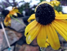 Water Dropped Yellow Coneflower by Sing-Down-The-Moon
