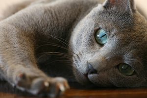 Tired Russian Blue by Vihola