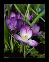 crocus by RickHaigh