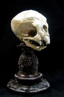 Nosferatu Fetal Skull Display by DellamorteCo