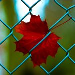 maple leaf by asilayliving