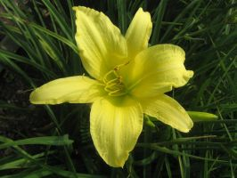 yellow lilly 03 by CotyStock