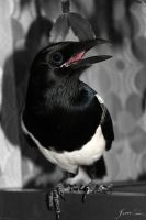Magpie by rattino