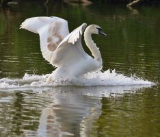 Swans 2014 5 3 by melrissbrook