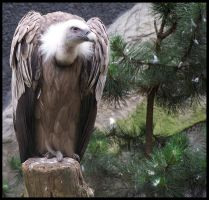 Vulture by Shimster