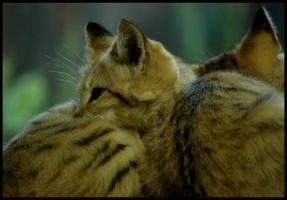 sand cat: protected by sibling by morho