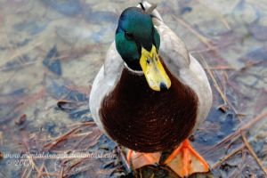 Mr Mallard Duck by mentaldragon