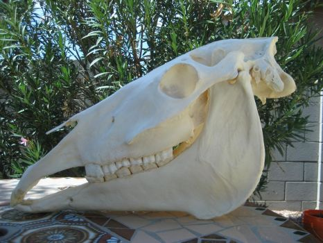 Molly the horse skull by Ratrinadragon