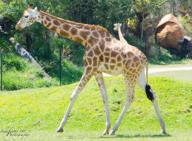 Giraffe 05 by Indefinitefotography
