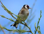 Goldfinch Bird in the Conifers by jessieo-photography