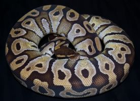 Mojave ph pied female by Phoenix-Cry