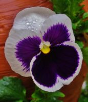 Pansy by Sssorry