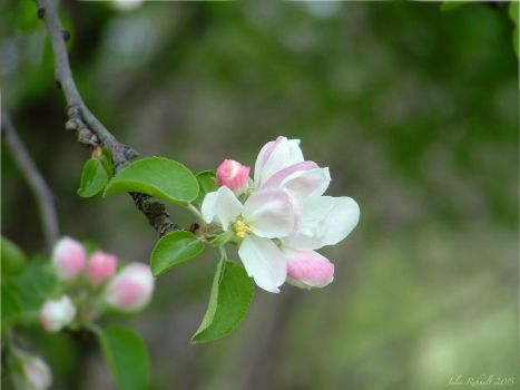 Apple Blossoms 3 by jewels4665