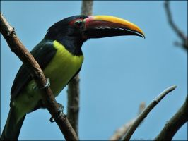 Green Aracari Toucan by mydigitalmind