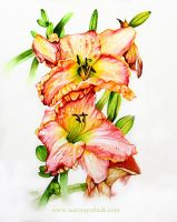 Daylily 'Clothed In Glory' by AaronGrabiak