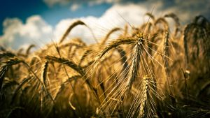 Wheat by P-Ron