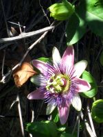 passion flower by stockofshutterbugmom