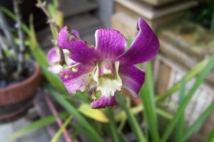 Orchid by Vanquist