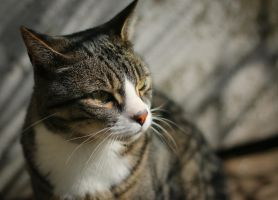 His Royal Catness... by clochartist-photo