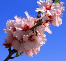 Almond Flowers 1 by ximocampo